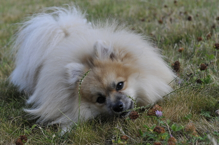 Photo pour dwarf Spitz dog - image libre de droit