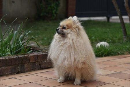Photo pour dwarf spitz dog - image libre de droit
