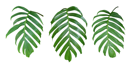 Photo pour Monstera plant leaves, the tropical evergreen vine isolated on white background, clipping path included - image libre de droit