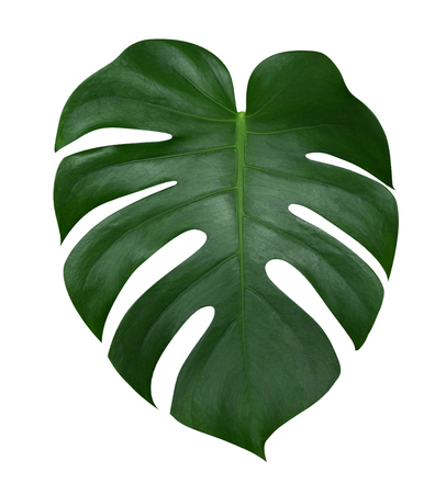 Foto de Monstera plant  leaf, the tropical evergreen vine isolated on white background, clipping path included - Imagen libre de derechos