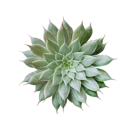 Photo for Cactus plant top view isolated on white background, clipping path included - Royalty Free Image