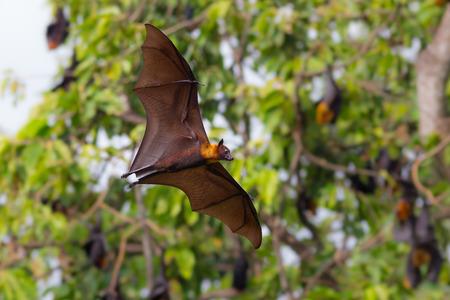 Photo pour Full open wings of flying male Lyle\\ - image libre de droit
