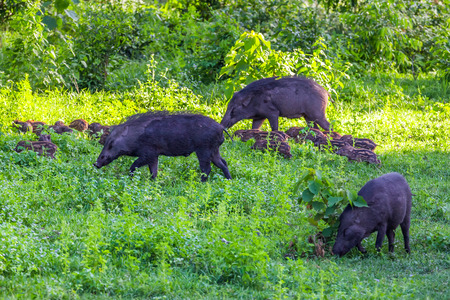 Big family of Wild boarSus scrofa and her plenty of cubs finding food in nature at Hui Kha Khaeng wildlife sanctuary Thailand