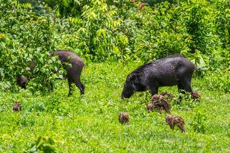 Family of Wild boarSus scrofa with her lovely cubs mate playing in foreground in nature at Hui Kha Khaeng wildlife sanctuary Thailand