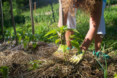 Photo pour Covering young capsicum plants with straw mulch to protect from drying out quickly ant to control weed in the garden. Using mulch for weed control, water retention, to keep roots warm in the winter and cool in the summer. - image libre de droit