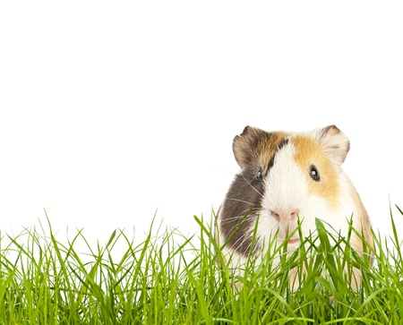 brown guinea pig in the grass