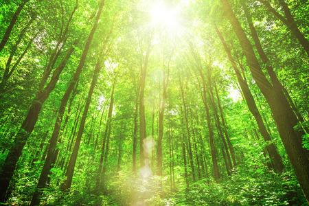 Photo pour forest trees on sunlight backgrounds - image libre de droit