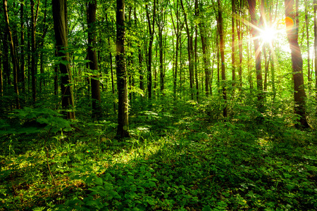 Foto de forest trees. nature green wood, sunlight backgrounds. - Imagen libre de derechos
