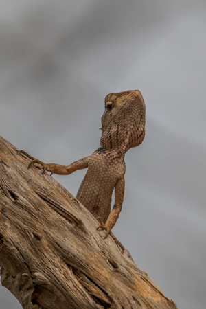 Photo pour Most lizards are carnivorous. They eat insects and arthropods is. But for a family with such a large vertebrate with varanidae to eat - image libre de droit