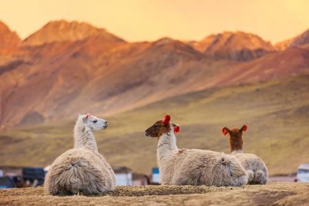 Photo pour Llama in remote area of Argentina - image libre de droit