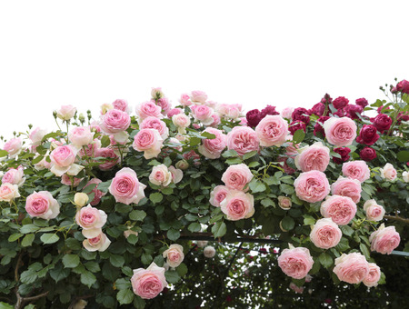 Photo for Climbing pink roses in garden - Royalty Free Image