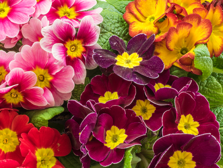 Photo pour Beautiful flowers of primrose in the garden - image libre de droit