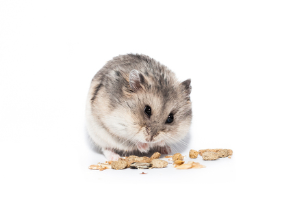 Photo for Little dwarf campbell hamster eating at studio - Royalty Free Image