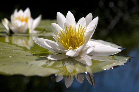 Foto de Water yellow white lily  - Imagen libre de derechos
