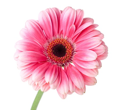 Photo for Pink gerbera flower on stem. Isolated on white - Royalty Free Image