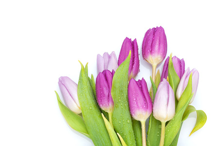 Photo for Purple tulips bouquet. Isolated on white background - Royalty Free Image