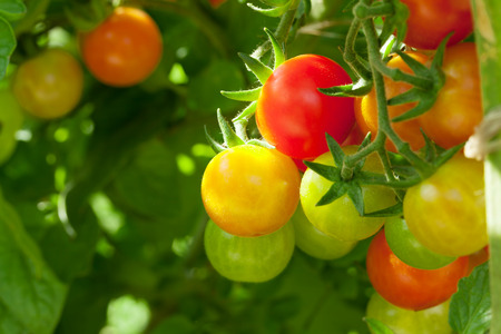 Photo pour Homegrown cherry tomatoes in garden - image libre de droit