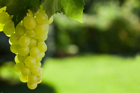 Photo for Vine and bunch of white grapes in garden - Royalty Free Image