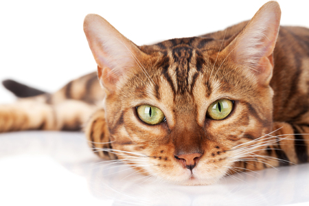 Photo pour Bengal cat. Isolated on white background - image libre de droit