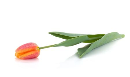Photo for Lying orange tulip. Isolated on white background - Royalty Free Image