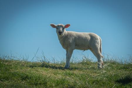 Photo pour Lamb on the dike - image libre de droit