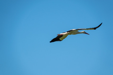 Photo pour a stork flies in nice weather in the blue sky - image libre de droit