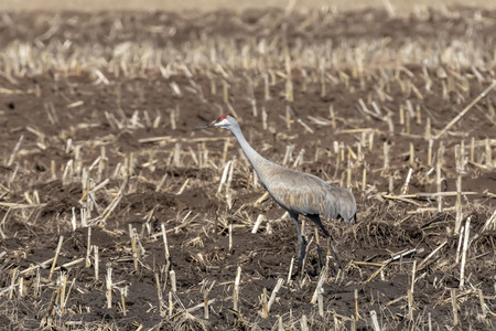 Photo pour Sandhill crane (Antigone canadensis)  returned to their nesting areas after winter. - image libre de droit