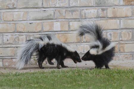 Photo pour The striped skunk  (Mephitis mephitis)  near the human dwelling. - image libre de droit