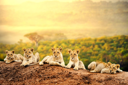 Photo for Close up of lion cubs laying together waiting upon mother  - Royalty Free Image