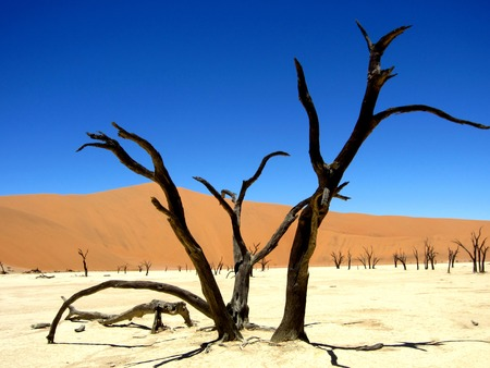 Photo for Dead Acacia Tree Stumps in hidden Death Valley in Sossusvlei with blue sky and sand dunes. - Royalty Free Image