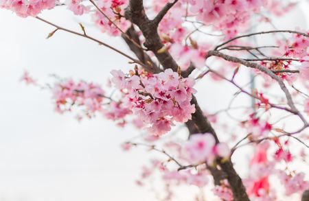 closeup sakura japan