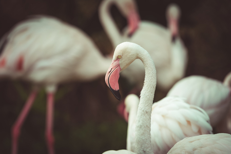 Close up of pink flamingo in zoo Thailand  vintage tone