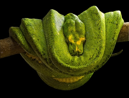 Emerald boa (Corallus caninus) is a non-venomous boa species that inhabits the tropical rainforests of South America. There is no currently recognized subspecies.