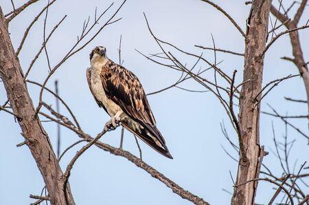 Foto de Wild osprey perched in a tree in Florida - Imagen libre de derechos