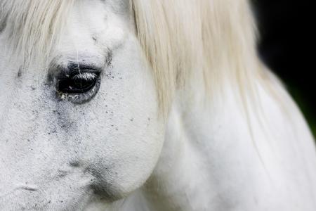 Macro detail of a white horse' eye.