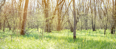 Photo for panorama of spring forest. Young green forest. Spring forest - Royalty Free Image