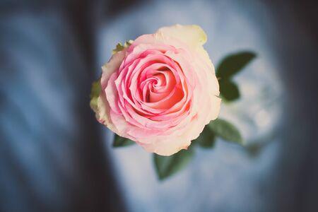 Foto de Pink rose A close-up of beautiful rose. - Imagen libre de derechos