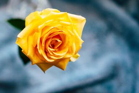 Foto de Yellow rose. A close-up of beautiful rose. - Imagen libre de derechos