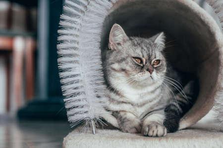 Foto de Scottish Straight. Adorable portrait of a gray cat. - Imagen libre de derechos