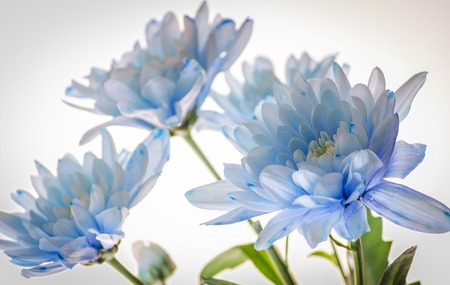 Photo for blue chrysanthemum near by on a white background - Royalty Free Image
