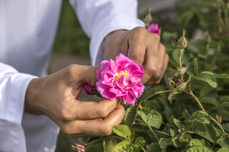Photo for hands collecting rose petals for rose water making in Oman - Royalty Free Image
