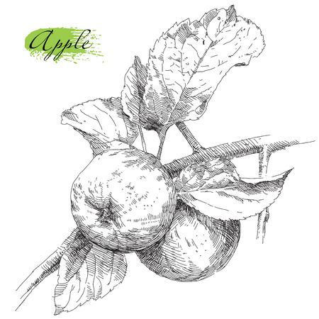 Illustration pour Beauty hand drawing apple on apple tree branch - image libre de droit