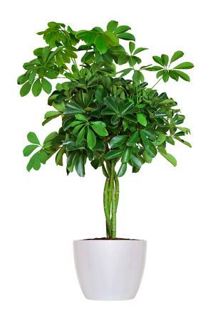 Photo for young Schefflera a potted plant isolated over white - Royalty Free Image