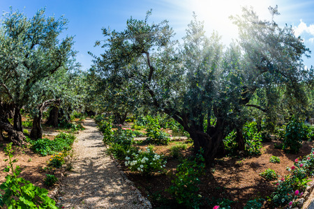 Foto de The ancient and well-kept Garden of Gethsemane in holy Jerusalem. Branched olive trees and smooth paths.  The concept of historical, religious and ethnographic tourism - Imagen libre de derechos