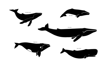 Illustration for Set of whale species icons. Vector illustration isolated on white background - Royalty Free Image