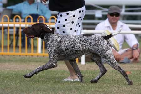 Photo pour Dog being shown at pace at a dog show - image libre de droit