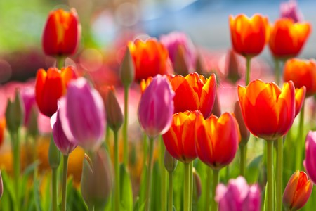 Photo for Colorful Tulips - Royalty Free Image