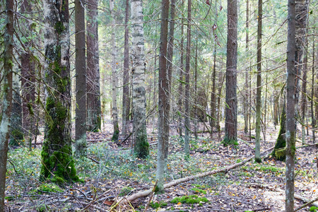 Photo for Forest with tree trunks on a summer, spring or autumn day - Royalty Free Image