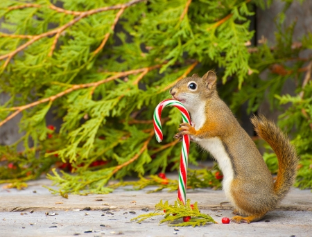 Foto de Colorful image of a little squirrel who seems to be very happy to have found a candy cane on a rustic wood and cedar background with copy space    Not a photomanipulation  - Imagen libre de derechos