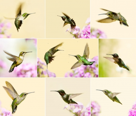 Colorful collage featuring beautiful male, juvenile, and female ruby throated hummingbirds in motion in the garden in summer